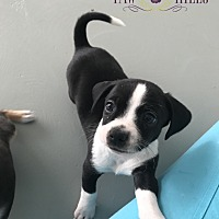 Adopt A Pet :: Thumper - Agoura Hills, CA
