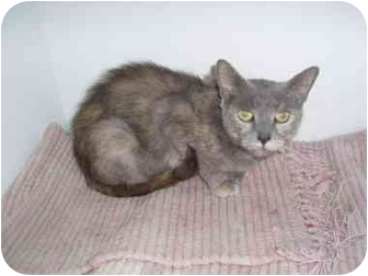 Domestic Shorthair Cat for adoption in Hamburg, New York - Pink Lavendar