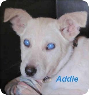 Labrador Retriever/Corgi Mix Puppy for adoption in Poway, California - Addie