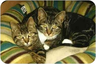 Domestic Shorthair Cat for adoption in Washington, Pennsylvania - Baxter and Bailey