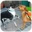 Photo 4 - Border Collie/Labrador Retriever Mix Dog for adoption in Richmond, Virginia - Hunter*Foster me