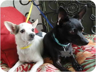 Chihuahua Mix Dog for adoption in Santa Ana, California - Butch & Sundance