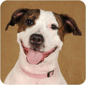 American Pit Bull Terrier Mix Dog for adoption in Chicago, Illinois - Maddie