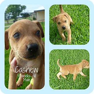 Labrador Retriever Mix Puppy for adoption in Groton, Massachusetts - Cashew