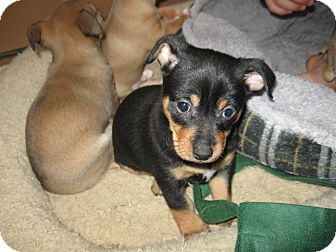 Chihuahua Mix Puppy for adoption in Tumwater, Washington - Juno