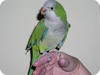 Parakeet - Quaker for adoption in St. Louis, Missouri - Larry Byrd