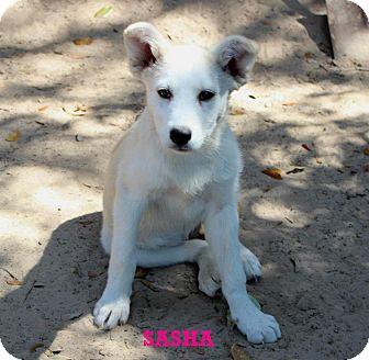 Husky Mix Puppy for adoption in Silsbee, Texas - Sasha