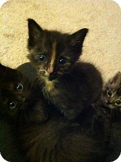 Domestic Shorthair Kitten for adoption in Gainesville, Florida - Bowen