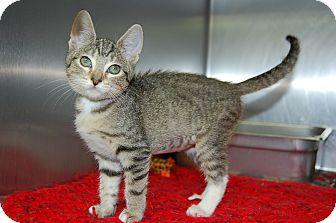 Domestic Shorthair Kitten for adoption in Bradenton, Florida - Wendy