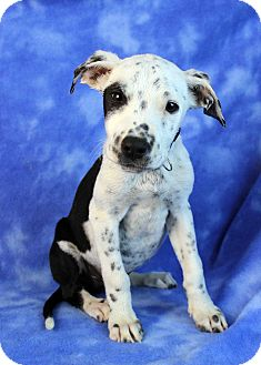 Pointer/Blue Heeler Mix Puppy for adoption in Westminster, Colorado - Blowfish