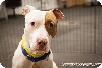 American Pit Bull Terrier Mix Dog for adoption in Grafton, Massachusetts - Buddy