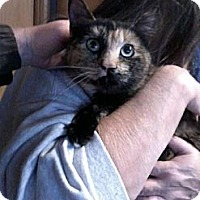 Domestic Shorthair Cat for adoption in Montello, Wisconsin - **California Pumpkin