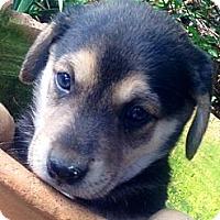 Adopt A Pet :: Baxter - Marlton, NJ