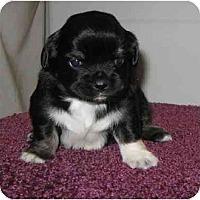 Adopt A Pet :: Faith - Chandler, IN