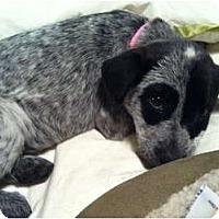 Adopt A Pet :: Josey (adoption pending) - Phoenix, AZ