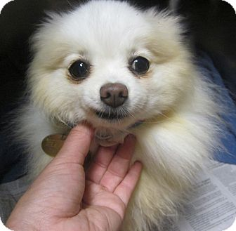 Pomeranian Dog for adoption in Oak Ridge, New Jersey - Prissy