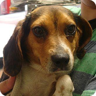 Beagle Dog for adoption in Greencastle, North Carolina - Humphrey