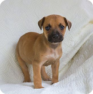 Australian Shepherd/Boxer Mix Puppy for adoption in Newtown, Connecticut - Ginger Ale