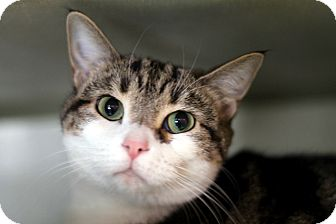 Domestic Shorthair Cat for adoption in Chicago, Illinois - Zoantharia