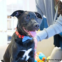 Adopt A Pet :: Squeak - Hamburg, PA