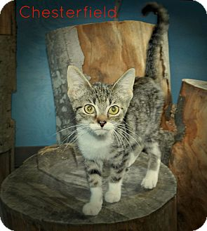 Domestic Shorthair Kitten for adoption in Lawrenceburg, Tennessee - Chesterfield