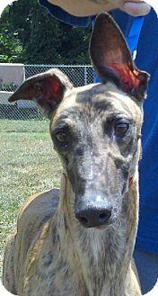 Greyhound Dog for adoption in Randleman, North Carolina - Memphis