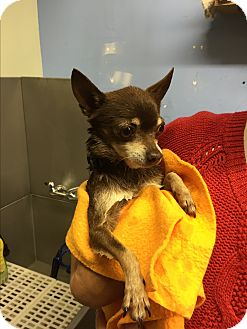 Chihuahua Mix Dog for adoption in Surrey, British Columbia - Lobo