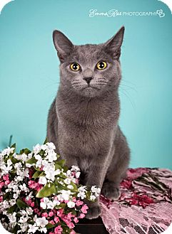 Domestic Shorthair Cat for adoption in Sterling Heights, Michigan - Sign