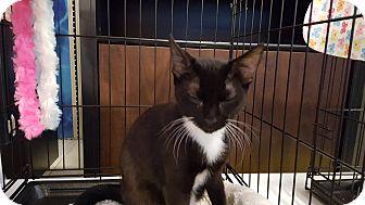 Domestic Shorthair Cat for adoption in Arlington/Ft Worth, Texas - Bentley