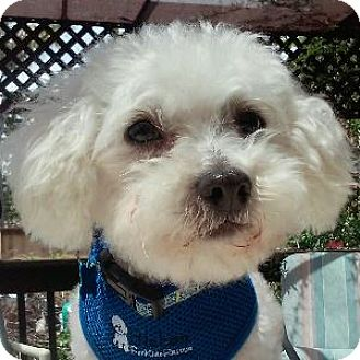 Bichon Frise Mix Dog for adoption in La Costa, California - Charley