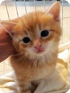 Domestic Shorthair Kitten for adoption in Dumfries, Virginia - Duke