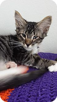 Domestic Shorthair Kitten for adoption in Westminster, California - Sulley
