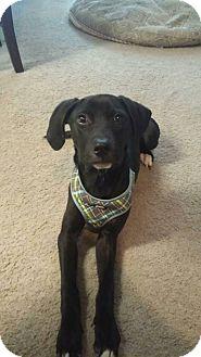 Labrador Retriever Mix Puppy for adoption in Louisville, Kentucky - Wally