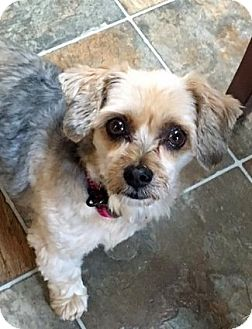 Yorkie, Yorkshire Terrier/Maltese Mix Dog for adoption in Mississauga, Ontario - Sophie