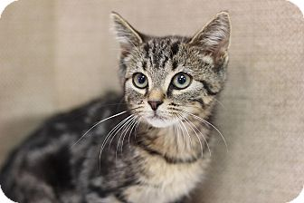 Domestic Shorthair Kitten for adoption in Midland, Michigan - Nibbles - PICK YOUR PRICE