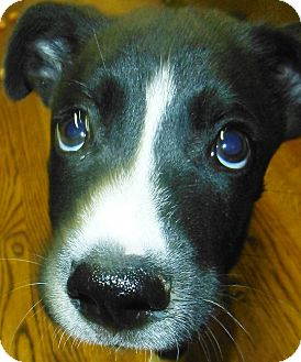 Husky/Boxer Mix Puppy for adoption in Chapel Hill, North Carolina - Johnny