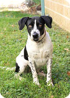 English Pointer/Bluetick Coonhound Mix Dog for adoption in Mayflower, Arkansas - Thelma