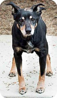 Shepherd (Unknown Type) Mix Dog for adoption in Gahanna, Ohio - ADOPTED!!!   Ozzy