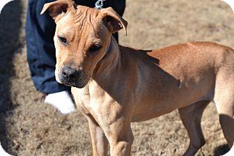 Labrador Retriever Mix Dog for adoption in Acworth, Georgia - Akira