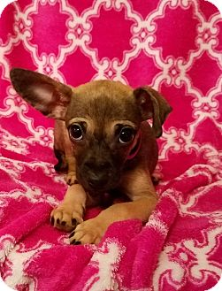 Chihuahua Mix Puppy for adoption in Danbury, Connecticut - Noelle