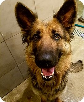 German Shepherd Dog Dog for adoption in Chicago, Illinois - Sable*ADOPTED!*