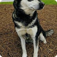 Adopt A Pet :: Nanouk - Lawrenceville, GA