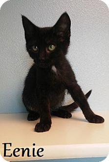 Domestic Shorthair Kitten for adoption in Knoxville, Iowa - Eenie