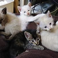 Adopt A Pet :: Snow Bengal Litter - Dallas, TX