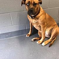 Adopt A Pet :: DAISY - Cadiz, OH