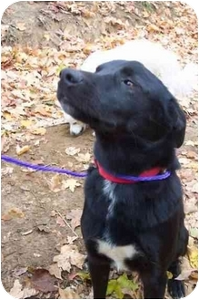 Labrador Retriever/Spitz (Unknown Type, Medium) Mix Dog for adoption in McArthur, Ohio - MURPHY