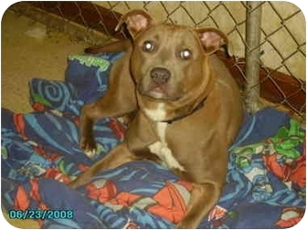 Pit Bull Terrier Dog for adoption in Yorkville, Tennessee - Skye