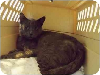 Domestic Shorthair Cat for adoption in Morden, Manitoba - Opa