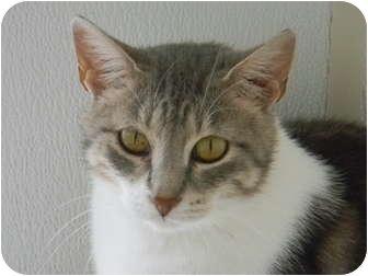 Domestic Shorthair Cat for adoption in St. James, Missouri - Celeste
