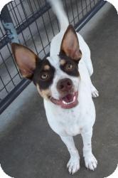 Rat Terrier Mix Dog for adoption in Gaffney, South Carolina - Dooright